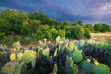 Flowering cactus and wildflowers at sunset in Texas