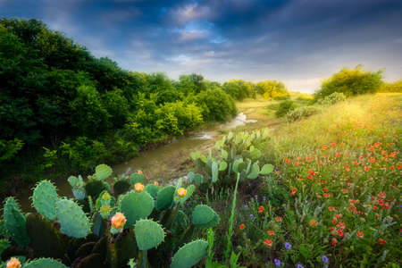 Flowering cactus and Indian Blanket wildflowers at sunset in Texas Stock Photo