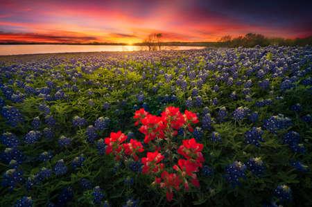 Bluebonnet Sunset, Ennis, TX Reklamní fotografie