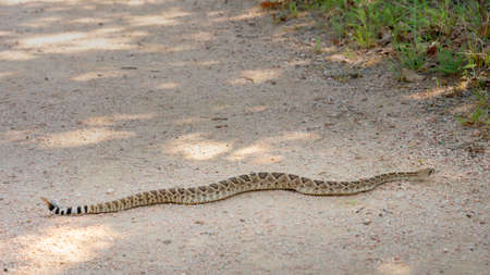 Large Texas Rattlesnake on a Hiking Trail Stock Photo