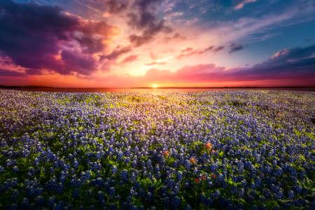 Texas Bluebonnet Sunset Reklamní fotografie