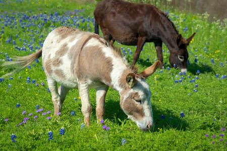 Two Donkeys in a Field of Bluebonnets