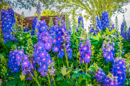Texas Hill Country Delphiniums