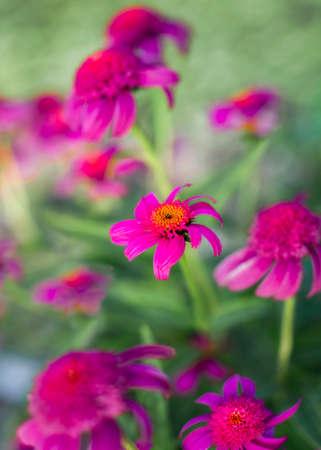 Purple Coneflowers at Dawn