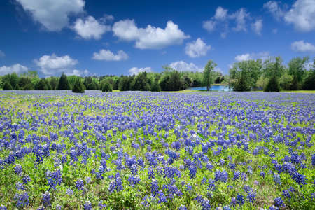 Texas Bluebonnets Bathed in Late Afternoon Sunshine