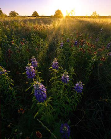 Texas Wildflowers at Sunrise in a Rural Field