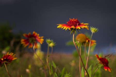 Texas Wildflowers Before an Early Evening Storm 版權商用圖片