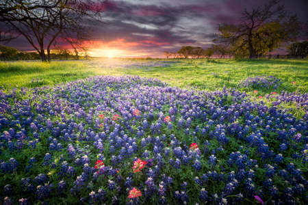 Colorful Sunrise and Bluebonnets in the Texas Hill Country