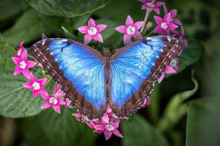 Blue Morpho butterfly resting on pink penta flowers
