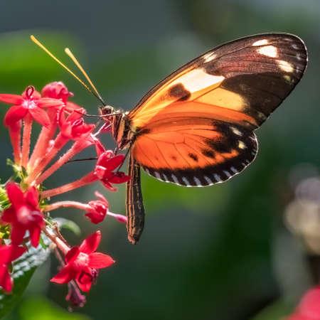 Tiger Longwing butterfly resting on a red penta flowers 版權商用圖片