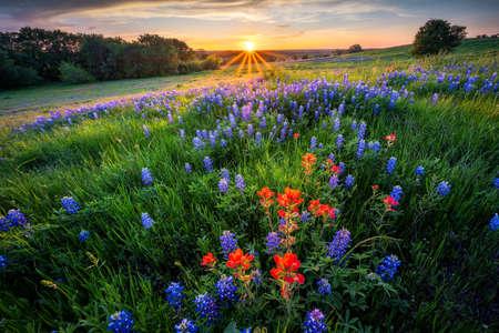 Ennis Texas Bluebonnets at sunset