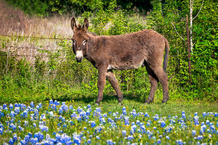 Adult donkey standing in a fenced rural Texas field full of bluebonnets