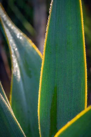 Texas Cactus at Dawn
