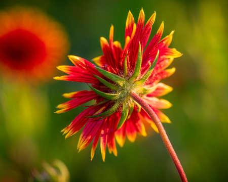 Indian Blanket Wildflower in Rural Texas 版權商用圖片