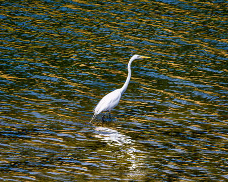 White Egret Standing in Colorful Water 版權商用圖片