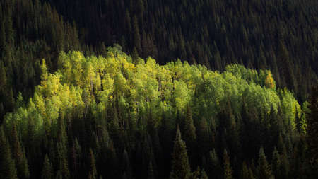 Row of aspen trees lit by sunlight in the middle of a pine forest 版權商用圖片