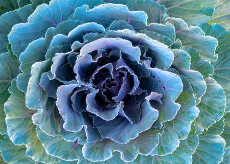 Ornamental Purple Kale or Cabbage