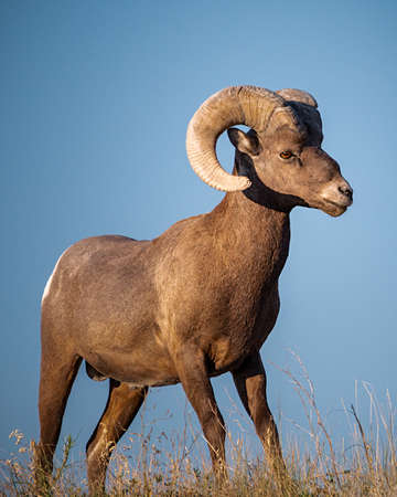 Majestic Bighorn Sheep Standing Guard Over His Territory