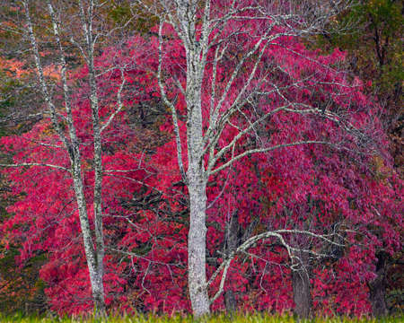 Stunning Tree With Bright Red Leaves