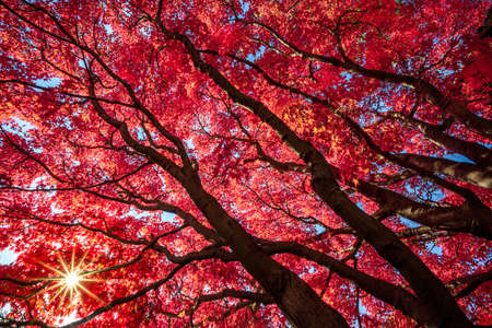 Fiery Red Japanese Maple Tree Showing Fall Color