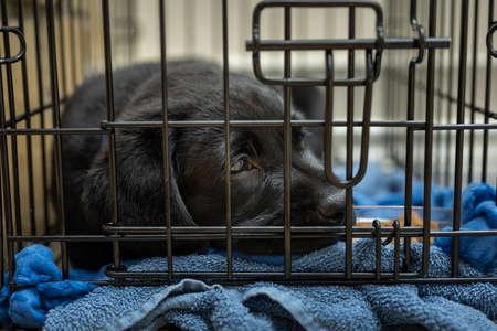 Cute Labrador Retriever Puppy in His Crate
