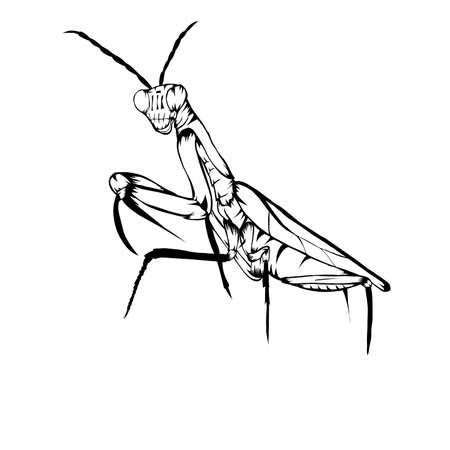 Sketch design of illustration Praying mantis