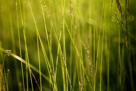 Summer Tall Grass