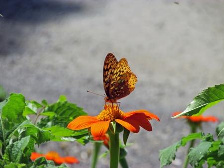 Butterfly resting on an orange flower. Stok Fotoğraf