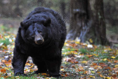 Black Bear shaking water off fur
