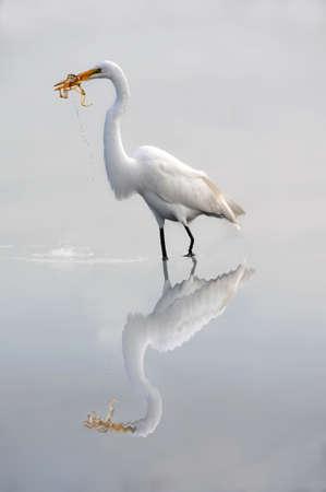 Great White Rgret eating frog Stock Photo