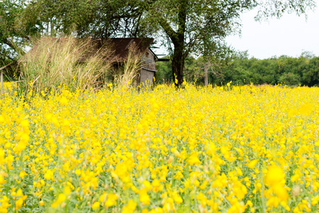 Rapeseed field, Blooming canola flowers close up. Rape on the field in summer. Bright Yellow oil. Flowering rapeseed. Spring photo with space for your montage