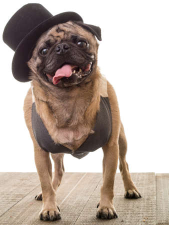 Cute dog wearing a top hat and vest