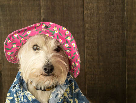 cute westie: Funny Dog wearing a flowery hat and shirt Stock Photo