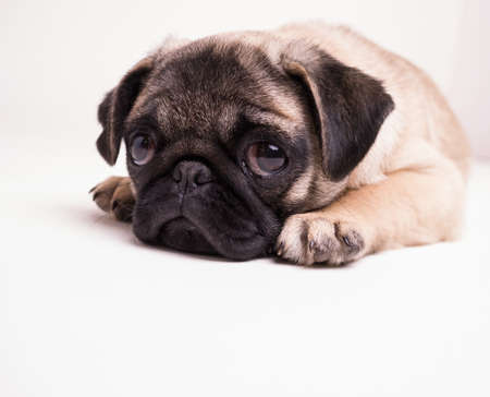 pug puppy: Sad Puppy Stock Photo