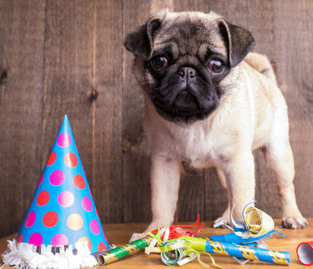 pug puppy: Happy Birthday Puppy