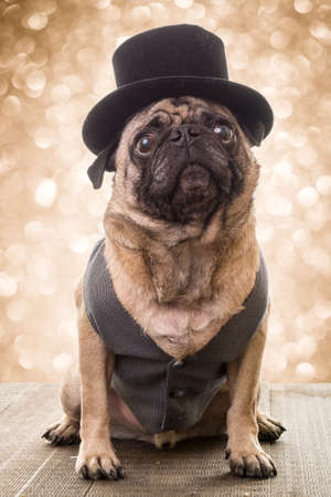 A pug wearing a top hat with bright lights behind him