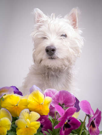 cute westie: Cute White Terrier Dog with pansies Stock Photo