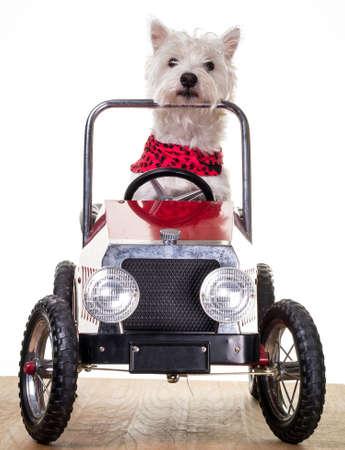 Dog driving a little car