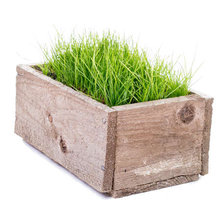 Fresh green grass in wooden box