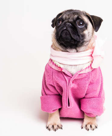 Cute pug puppy dog wearing a pink sweater and bow Stock fotó