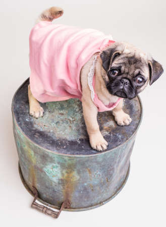 Cute pug puppy dog wearing pink house dress