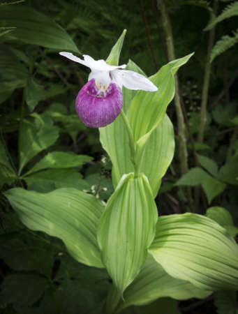 Rare wild lady slipper orchids in the wild