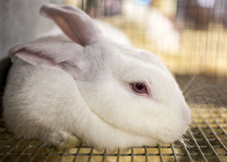 rabbit cage: white bunny rabbit in a cage at a country fair. Stock Photo