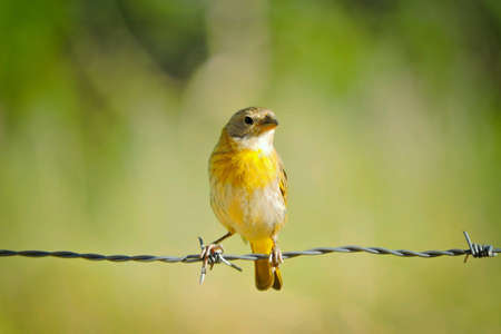 Brazilian bird photographed on a wire fence 스톡 콘텐츠
