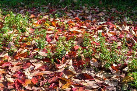 autumn leaves falling: Autumn leaves falling to earth