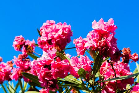 fuchsia color: bougainvillea plant