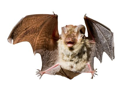 bats:  Bat on a white background
