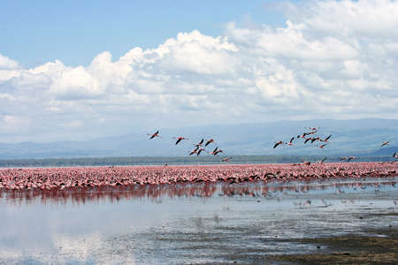 Flamingos at Nakuru Lake, Kenya  photo