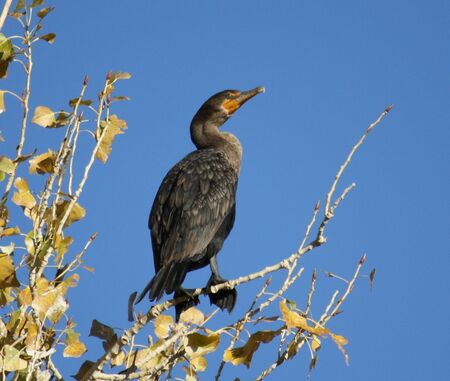 floyd: Double-crested Cormorant at Floyd Lamb State Park