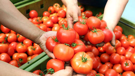 quality check:  Freshly Harvested Tomatoes - Human hands holding fresh ripe tomatoes